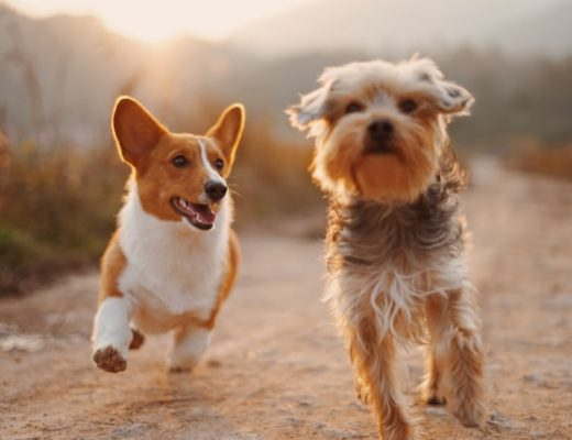 Anti-Inflammatories For Hip Dysplasia In Dogs - Art of Healthy Living